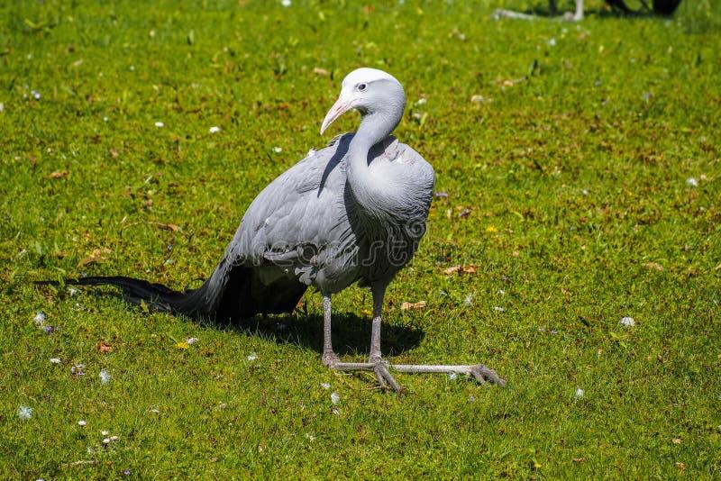 De Blauwe Kraan, Grus-paradisea, is een bedreigde vogel royalty-vrije stock afbeeldingen