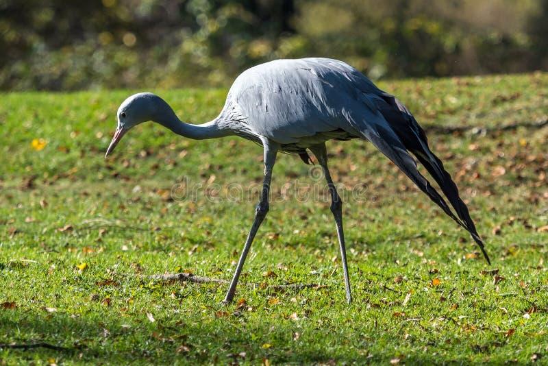 De Blauwe Kraan, Grus-paradisea, is een bedreigde vogel royalty-vrije stock foto's
