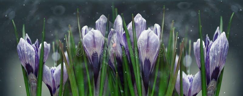 De blauwe lente van krokusbloemen royalty-vrije stock foto's