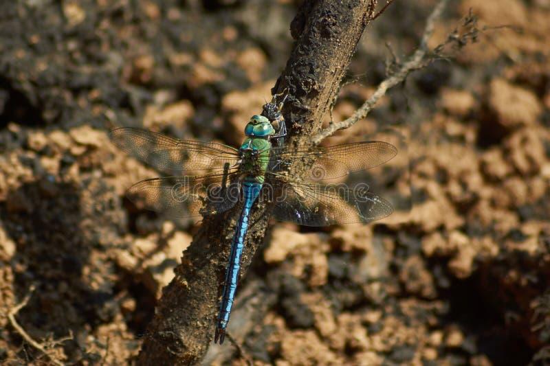 De blauwe libel eet gevangen cicade stock fotografie