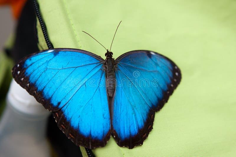 De blauwe Monarchvlinder zit in de botanische tuin Montreal royalty-vrije stock afbeelding