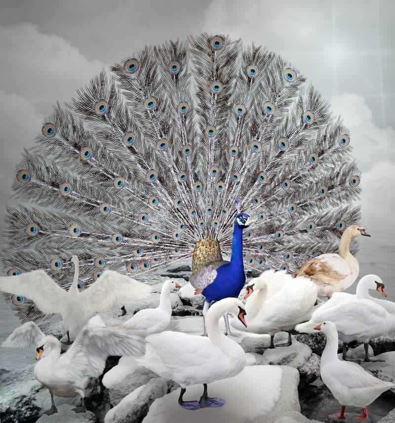 De blauwe pauw onder witte eenden royalty-vrije illustratie