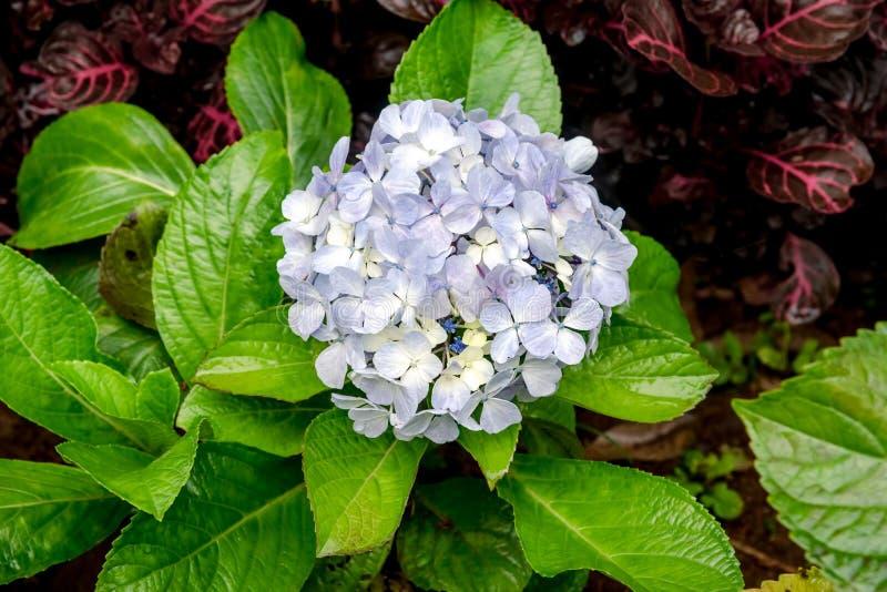 De blauwe Purpere Bloem die van de Tovenareshydrangea hortensia met Ruby Blue Black Flowerheads bloeien Macrophylla van de hydran royalty-vrije stock fotografie