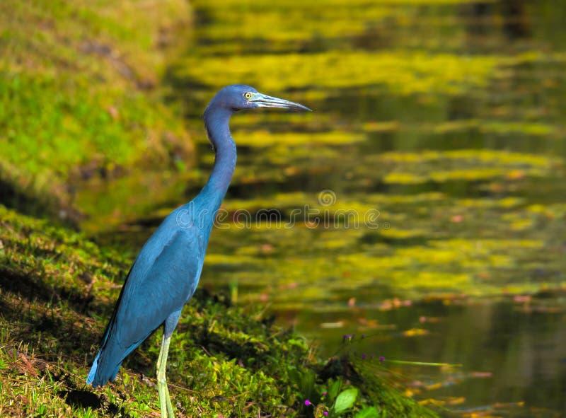 De Blauwe Reiger van HDR dichtbij een vijver 2 stock fotografie