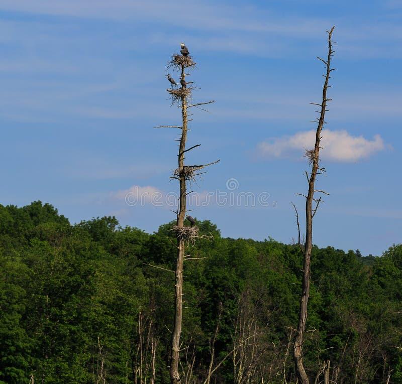 De blauwe reigers in roekenkolonie met het mannelijke brengen plakt om te nestelen, nest 4 stock fotografie