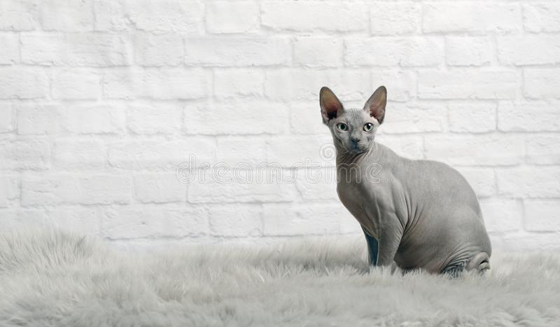 De blauwe sphynxkat zit op een bontdeken en bekijkt de camera royalty-vrije stock fotografie