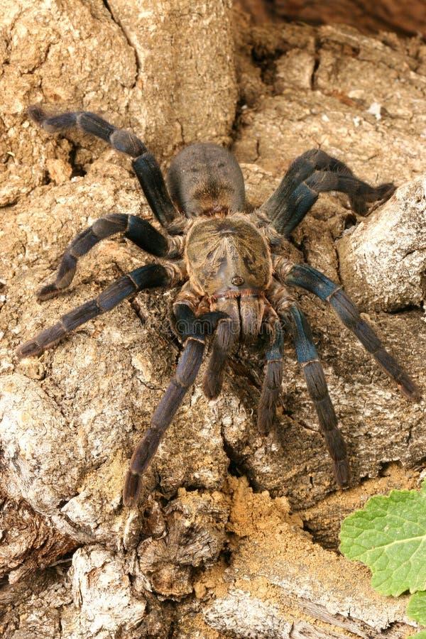 De Blauwe Tarantula van het kobalt (lividum Haplopelma) royalty-vrije stock foto