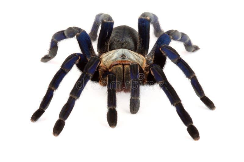 De Blauwe Tarantula van het kobalt (lividum Haplopelma) stock afbeelding