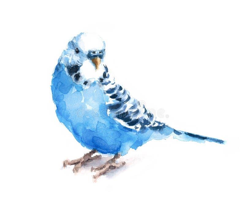 De blauwe van de Waterverf Exotische Budgie van de Grasparkietparkiet Getrokken Hand van de de Vogelillustratie royalty-vrije illustratie