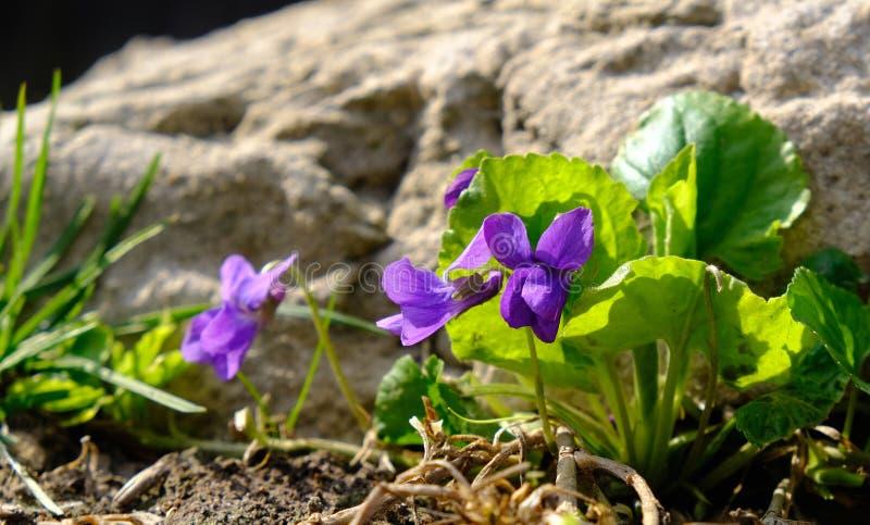 De blauwe viooltjes in bosaltvioolodorata, Houten viooltjes bloeit, zoet viooltje De installatie is genoemd geworden Banafsa, Ban stock afbeeldingen
