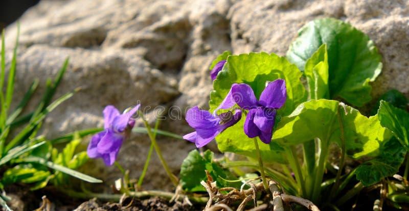 De blauwe viooltjes in bosaltvioolodorata, Houten viooltjes bloeit, zoet viooltje De installatie is genoemd geworden Banafsa, Ban stock foto's