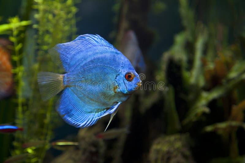 De blauwe Vissen van de Discus van de Diamant stock foto's