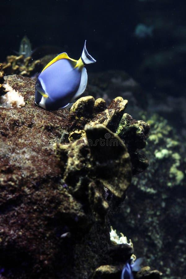 De blauwe vissen van de hemel stock foto's