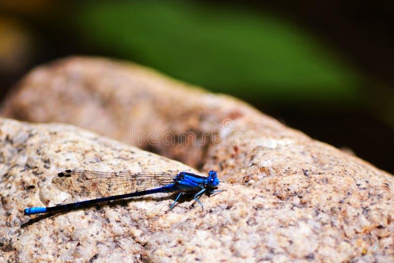 De blauwe Vlieg van de Draak stock afbeelding