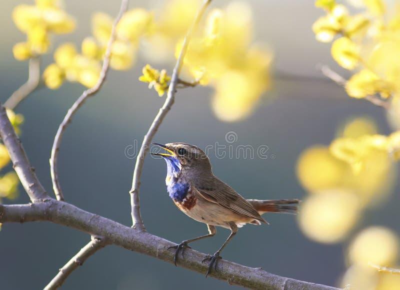 De blauwe vogel zingt in de de lentetuin op een tot bloei komende boom branc stock afbeelding