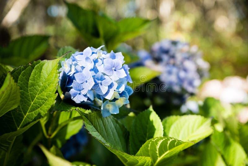 De blauwe voorgrond van de hydrangea hortensiabloem met zachte groene achtergrond stock afbeeldingen