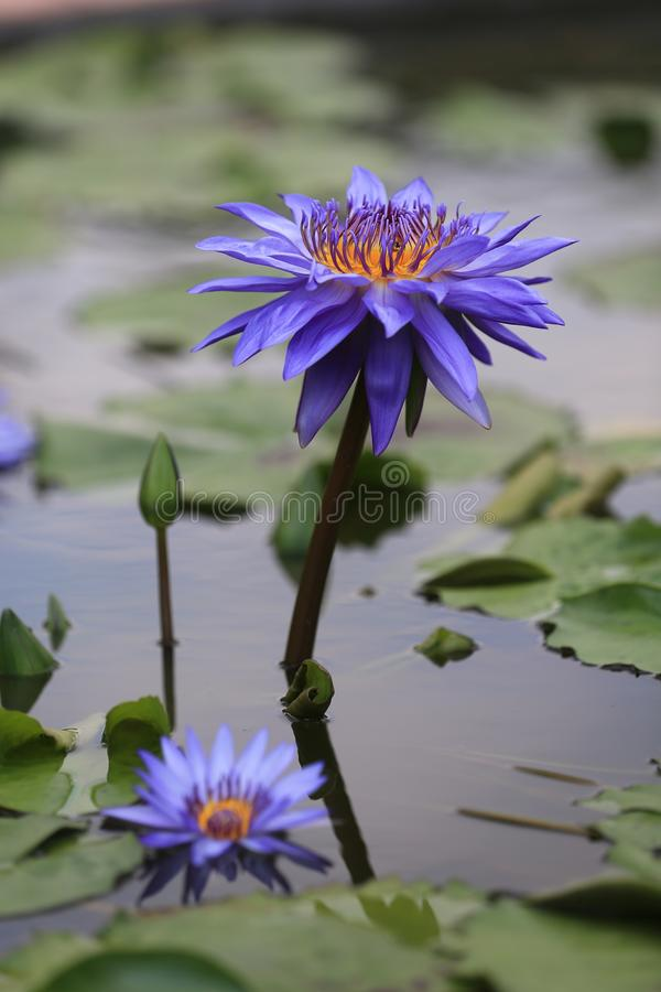 De blauwe waterlelies in een lotusbloemvijver op een bewolkte dag royalty-vrije stock foto