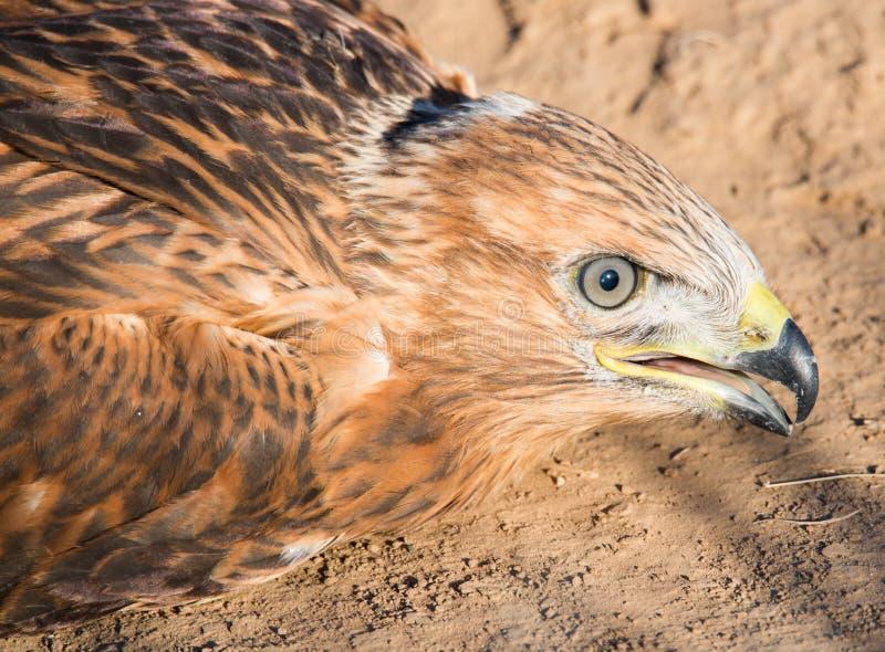 De blik van een jonge adelaar stock afbeelding