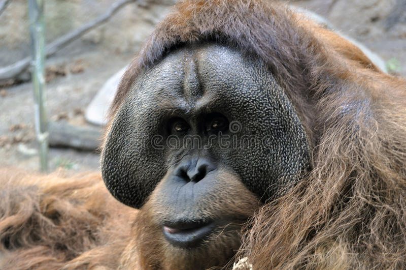 De blik van een Orangoetan royalty-vrije stock foto
