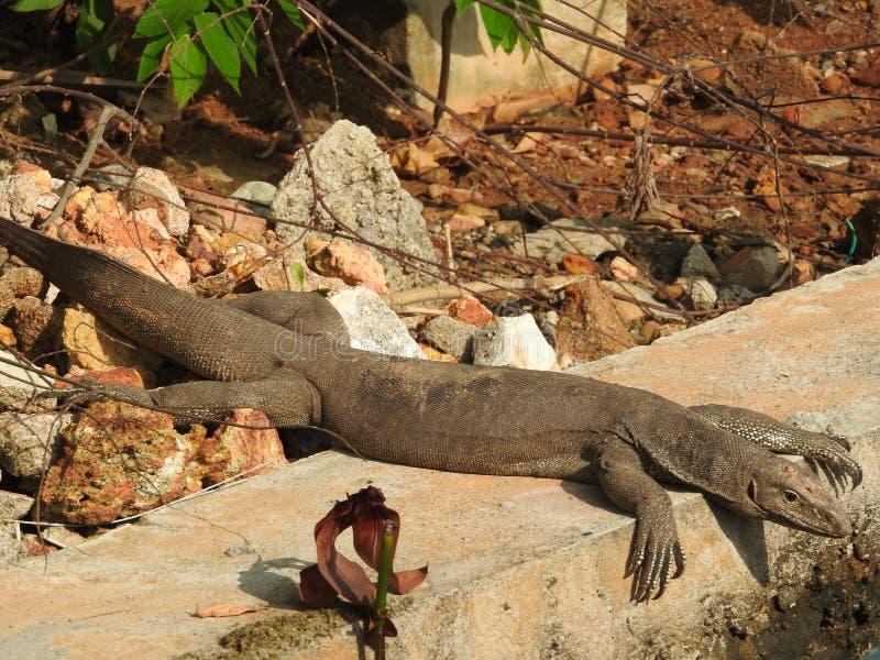 De blik van de leguaan, ongeveer, de natuurlijke habitat van Sri Lanka stock foto