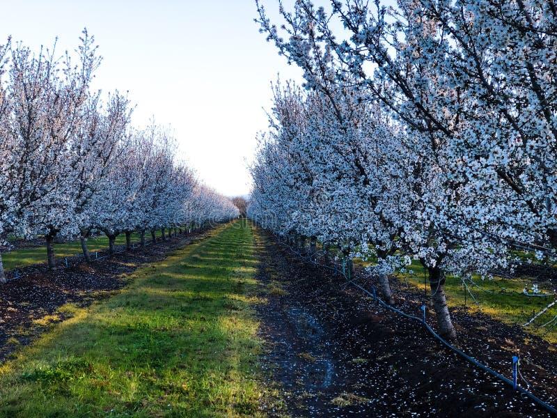 De bloei van de amandelboomgaard stock afbeelding