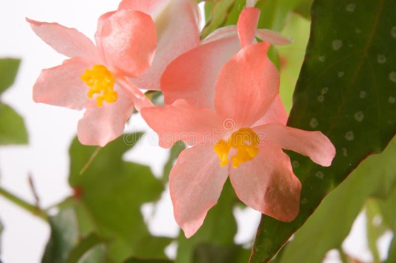 De Bloei van de Begonia van de Vleugel van de engel stock afbeelding