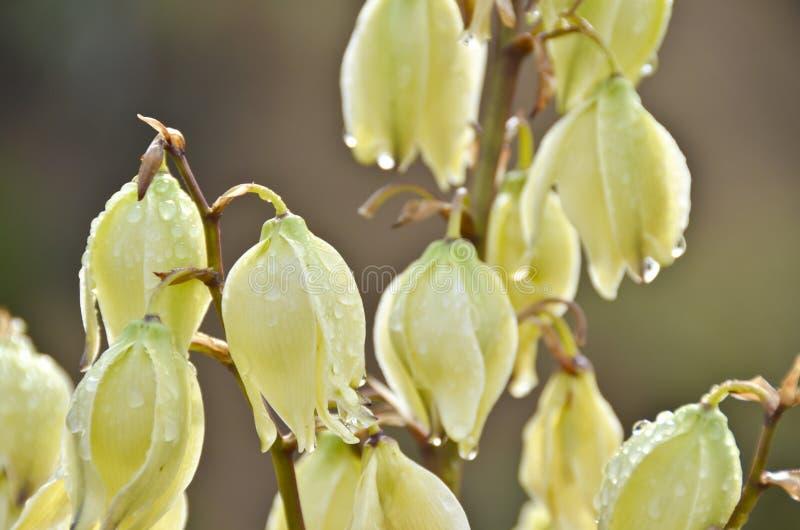 De Bloei van de Bloemen van de yucca royalty-vrije stock foto's