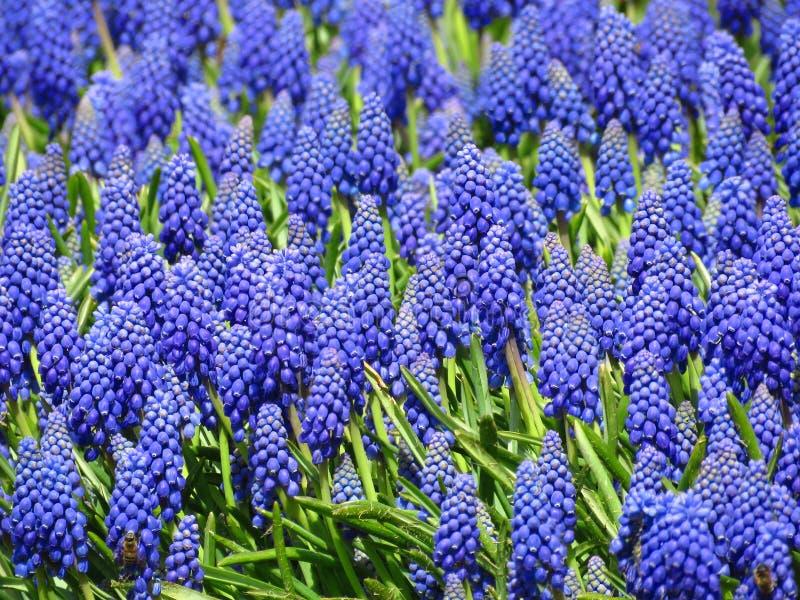 De bloei van de druivenhyacint in lentetijd in de parktuin Mooie kleine blauwe de lentebloem stock foto's