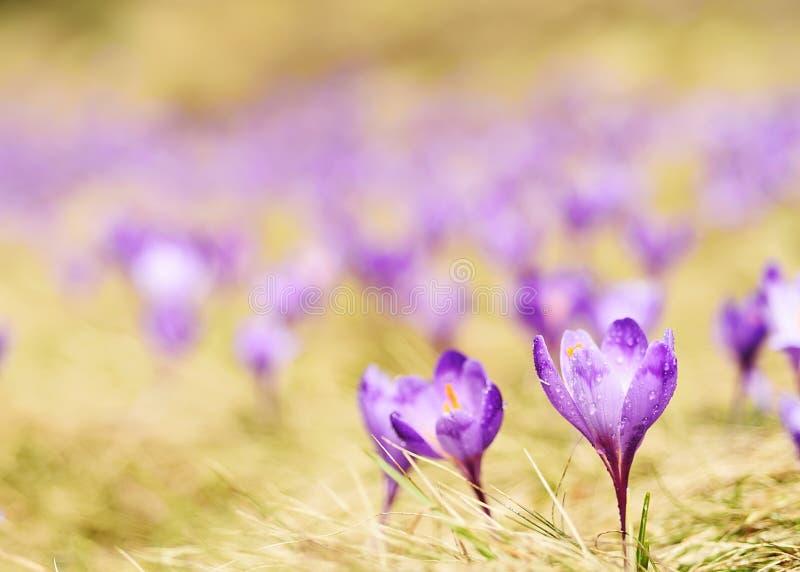 De bloei van de eerste de lentebloemen van saffraan, krokussen royalty-vrije stock afbeeldingen