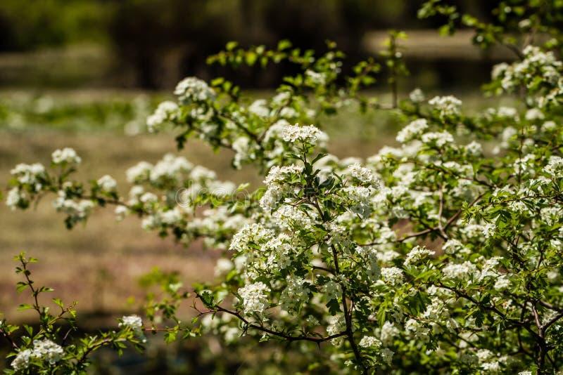 De Bloei van de fruitboom, Witte Bloemen in de lente royalty-vrije stock afbeeldingen