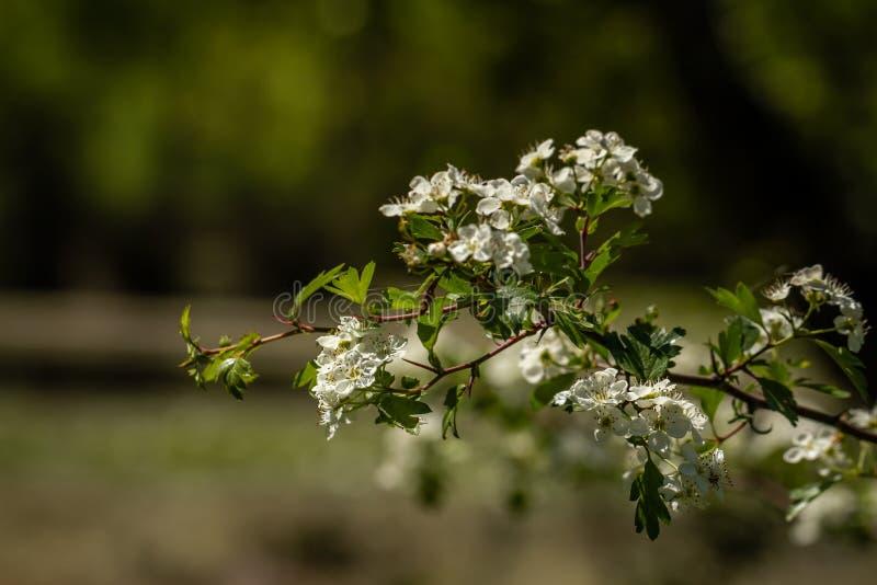 De Bloei van de fruitboom, Witte Bloemen in de lente stock foto's