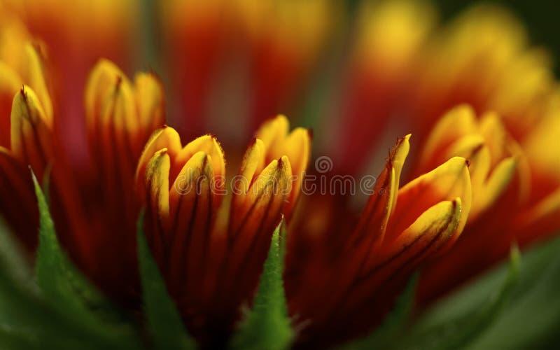 De bloei van Gaillardia, macro stock fotografie