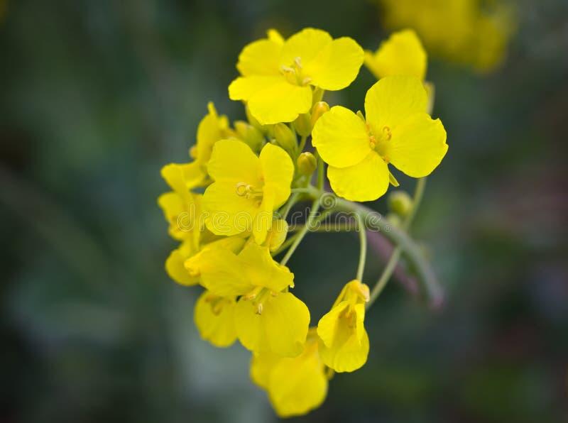 De bloei van gele tikken sluit omhoog royalty-vrije stock fotografie