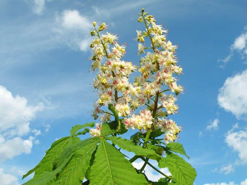 De bloei van de kastanjeboom in de lente, Litouwen royalty-vrije stock afbeelding