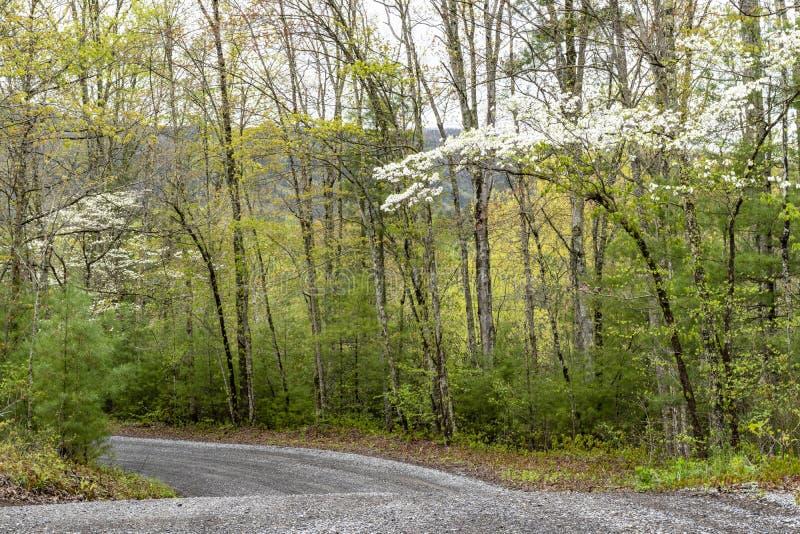 De bloei van kornoeljebomen in een groen bos in Smokies royalty-vrije stock afbeeldingen
