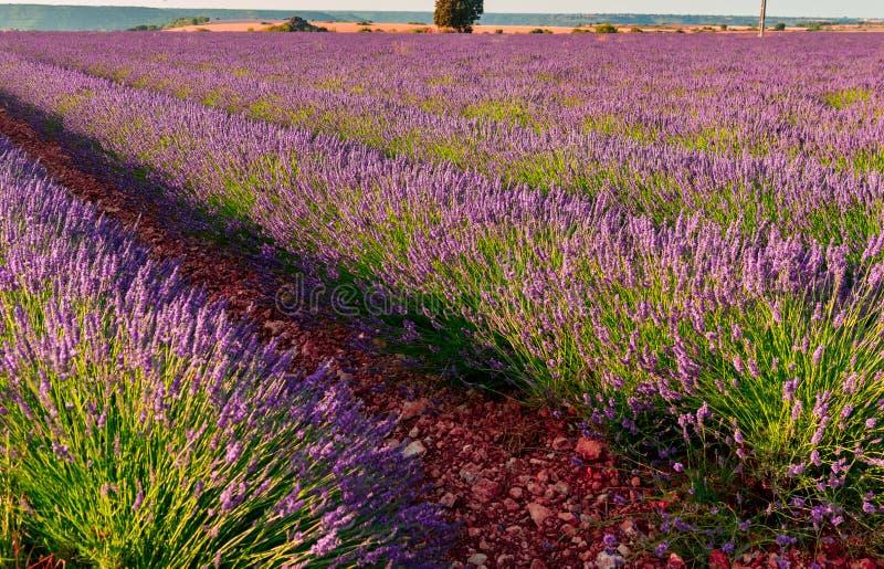 De bloei van lavendelgebieden royalty-vrije stock foto's