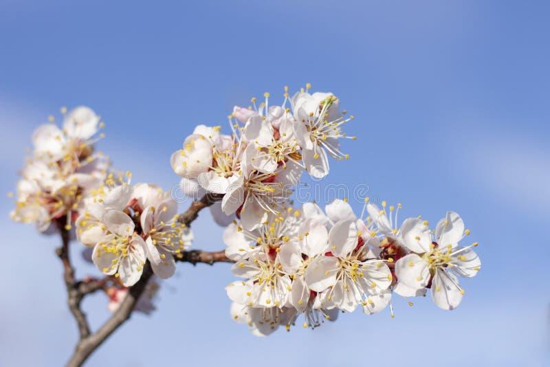 De bloei van de lentebloemen op de abrikozenboom van fruitbomen stock foto's