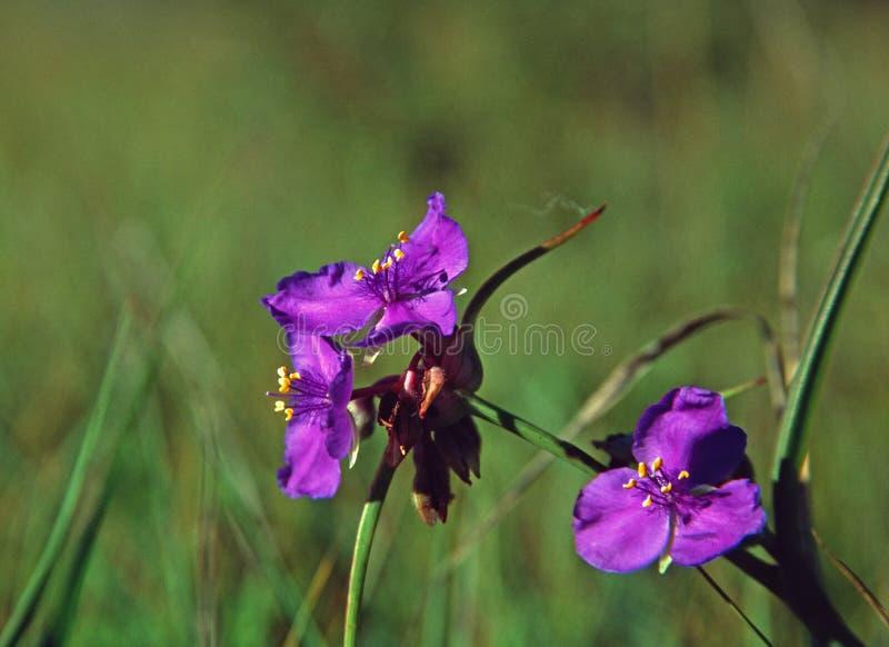 De bloei van Ohio Spiderwort op een zonnige de zomerochtend stock foto's