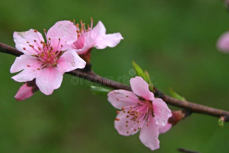 De Bloei van Redbud van de lente stock afbeeldingen
