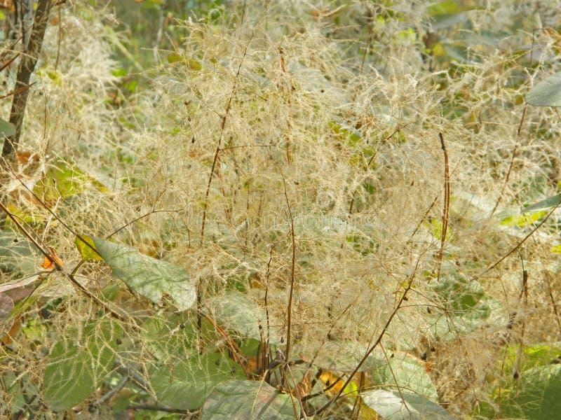 De bloei van de rookboom royalty-vrije stock afbeelding