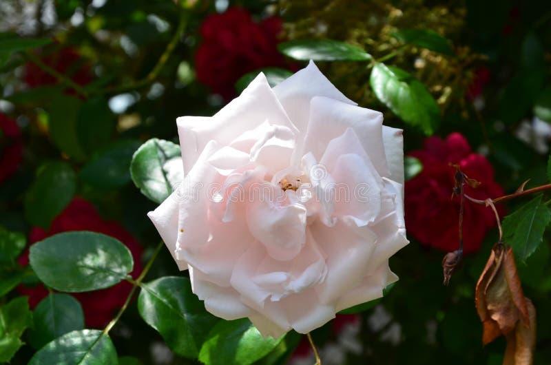 De bloei van wit nam toe stock afbeelding