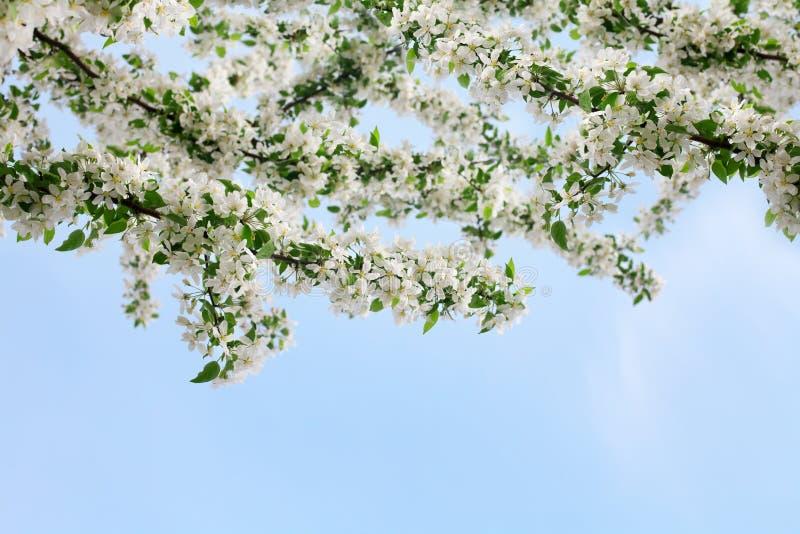 De bloeiende appelboom vertakt zich met witte dicht omhoog bloemen en groene bladeren op duidelijke blauwe hemelachtergrond, mooi stock afbeeldingen