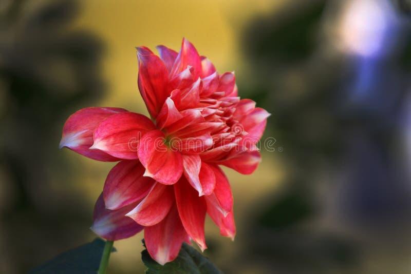 de bloeiende bloem van Dalia stock afbeeldingen