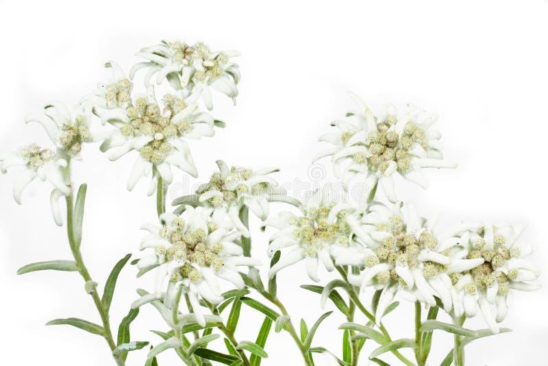 De bloeiende Bloem van het Edelweiss op wit stock fotografie