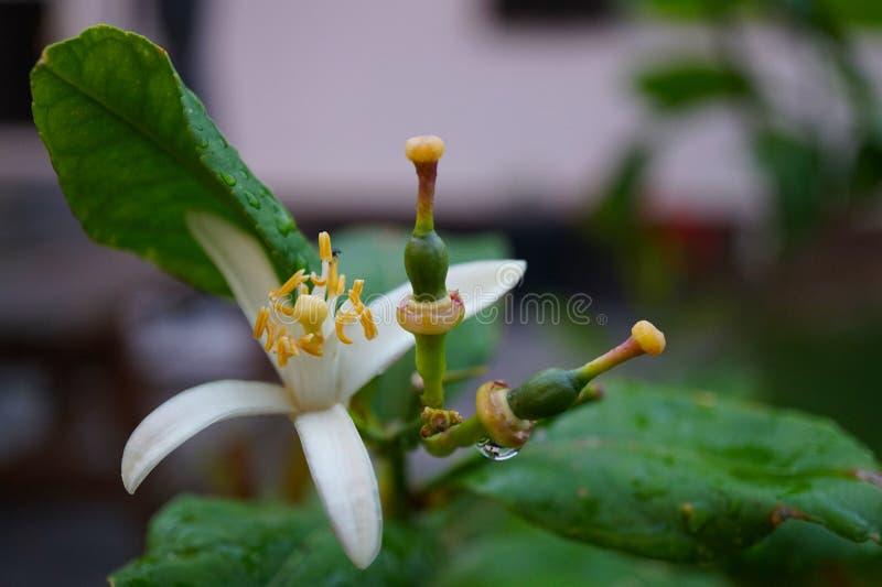 De bloeiende bloemen van de citroenbloesem op citroenboom met begincitroenen royalty-vrije stock fotografie