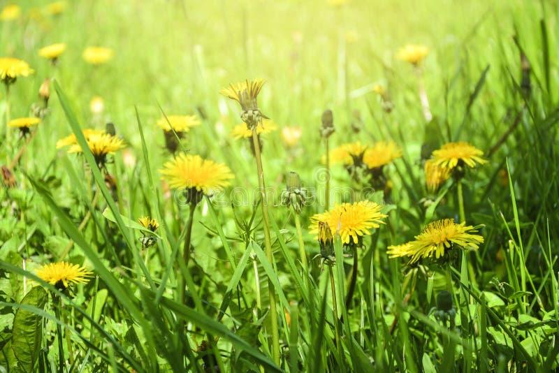 De bloeiende bloemen van de Paardebloem Gebiedsbanner stock afbeelding
