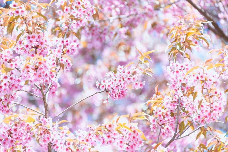 De bloeiende bloesem van de Sakurabloem in Pangkhon-rai van bergchiang, royalty-vrije stock afbeelding