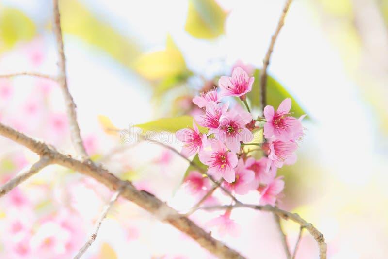 De bloeiende bloesem van de Sakurabloem in Pangkhon-rai van bergchiang, royalty-vrije stock foto