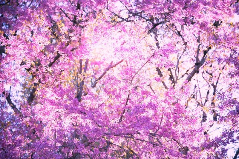 De bloeiende bloesem van de Sakurabloem in Pangkhon-rai van bergchiang, royalty-vrije stock fotografie