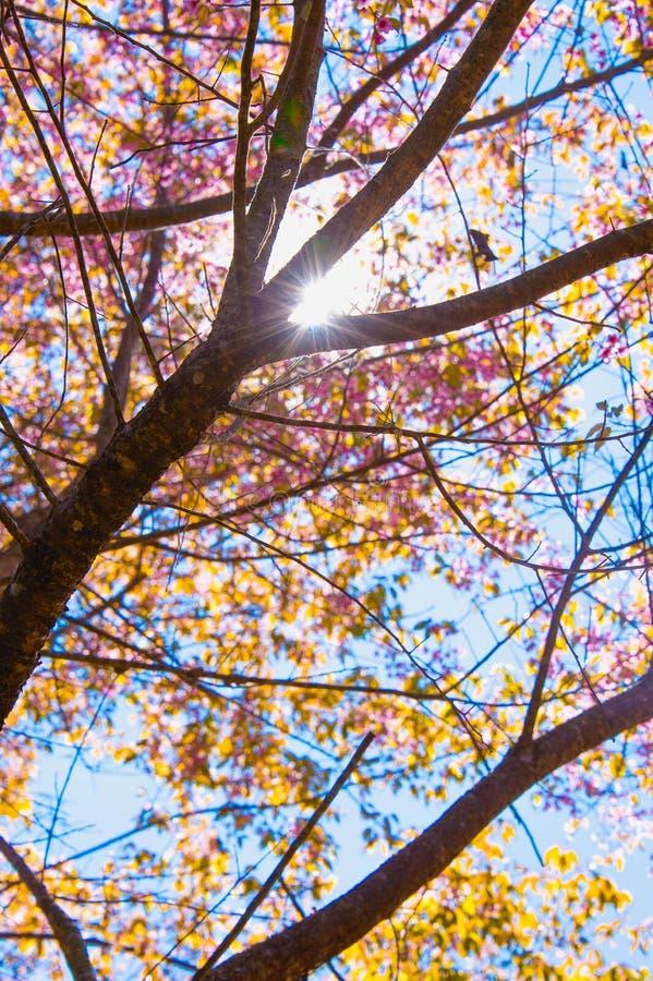 De bloeiende bloesem van de Sakurabloem in Pangkhon-rai van bergchiang, royalty-vrije stock foto's